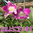 orchid for japan
