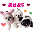 Real DOG Pekingese & Shih Tzu