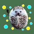 Hedgehog Bijou