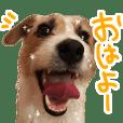 Jack Russell Terrier [himawari]
