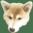 shiba dog natu-chan 1