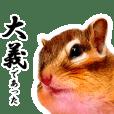 シマリス侍、コジロー君。