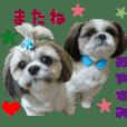 Real DOG Shih tzu -Maron & Yamato-