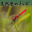 天然色のトンボ