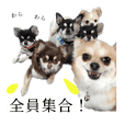 Six Chihuahuas from Japan