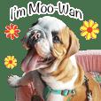 Happy bulldog Moo-Wan