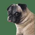 Dog Pug No.2