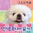 *ペキニーズTenの丁寧な韓国語*