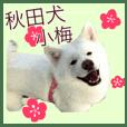 秋田犬 小梅