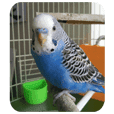 Budgerigar Sui's Daily