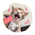ベンガル子猫達 プラチナムキャット1