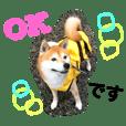 柴犬のコタロー2