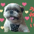 リアルDOG シーズー ☆ティナLife☆