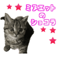minuet kitten Chocolate PhotoSticker2