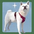 Cute dog Tsubaki-chan