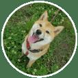 柴犬つむぎ 5