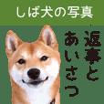【柴犬写真】よく使う返事とあいさつ