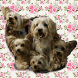 Lovely~Yorkshire Terrier