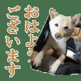 Shiba dog's KURUMI everyday conversation
