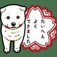 Wanko-Biyori White Shiba Inu 5