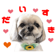 Real DOG Shih Tzu -Rizum-