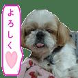 シーズー犬のミニ~たん