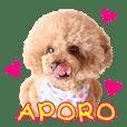 トイプードル アポロ