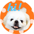Pekingese dog Ten's POP! POP! English