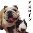 BullBull dog's sticker