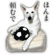 White Swiss Shepherd Dog Loup