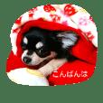 Chihuahua **