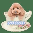 toypoodle momo