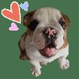 Happy bulldog Moo-wan II