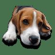 ビーグル犬ヨーダ Vol.1