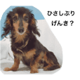 Local people of the miniature dachshund