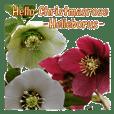 Hello Christmasrose. [Helleborus]