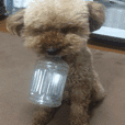 Cute toy poodle pooh's photos 2