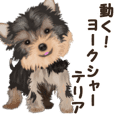 Move! sticker of Yorkshire Terrier
