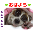 Real pygmy slow loris