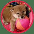 柴犬つむぎ 1