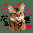 みろちゃん2(ソマリ猫)