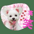 チワマル プッチ&ポメマル リリィ MIX犬