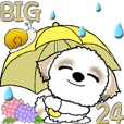 【Big】シーズー犬24『梅雨』