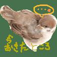 sparrows DANGOchan