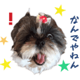 Real DOG Shih Tzu - URARA -