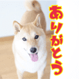 Shibainu David sticker