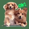 愛犬スタンプ RamCoco-Ver.1