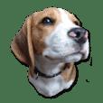 ビーグル犬ヨーダ Vol.2