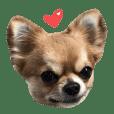 Chihuahua 3 GEN