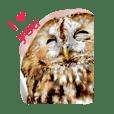 owl .tawnyowl.English edition.
